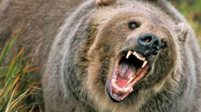 HUngry-Bear-800x447